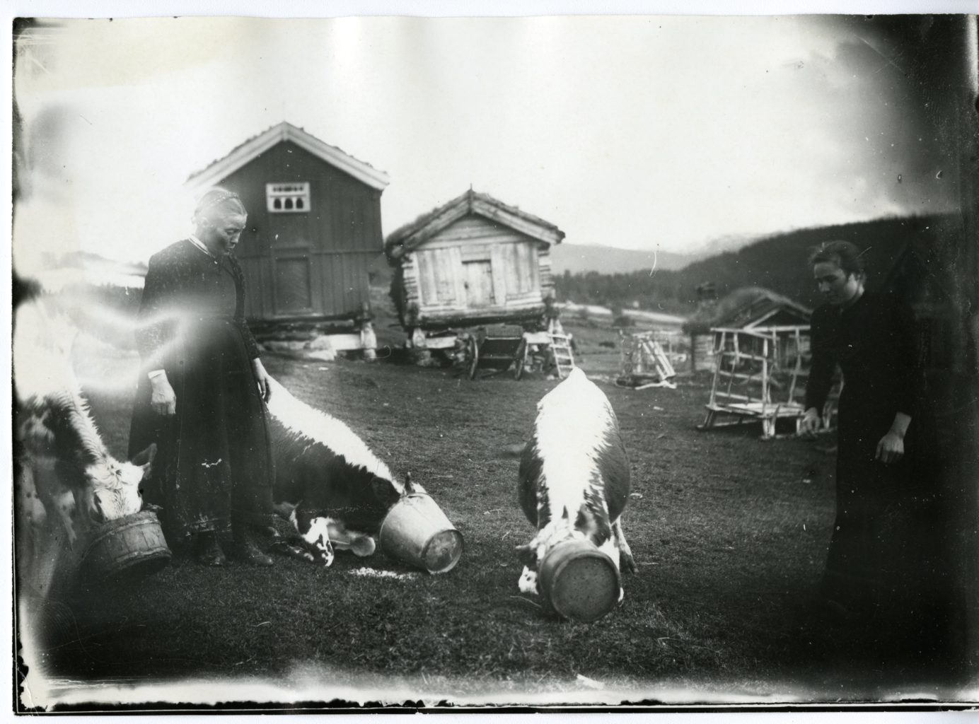 Two women feed three cows outside.
