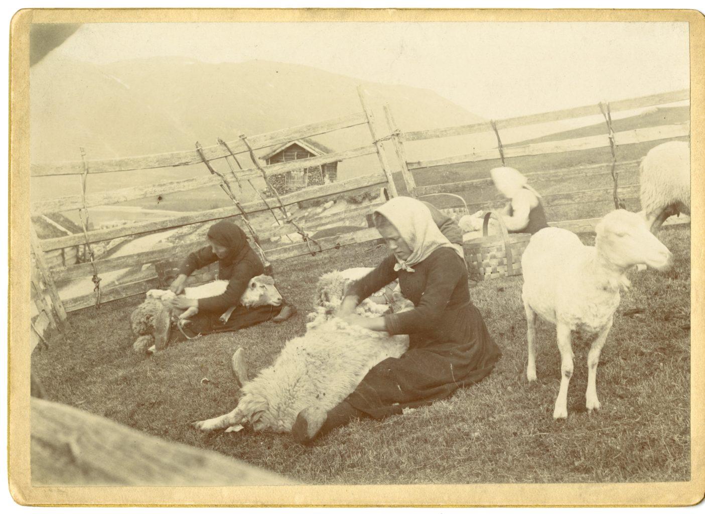 Three women sheer sheep on the farm.