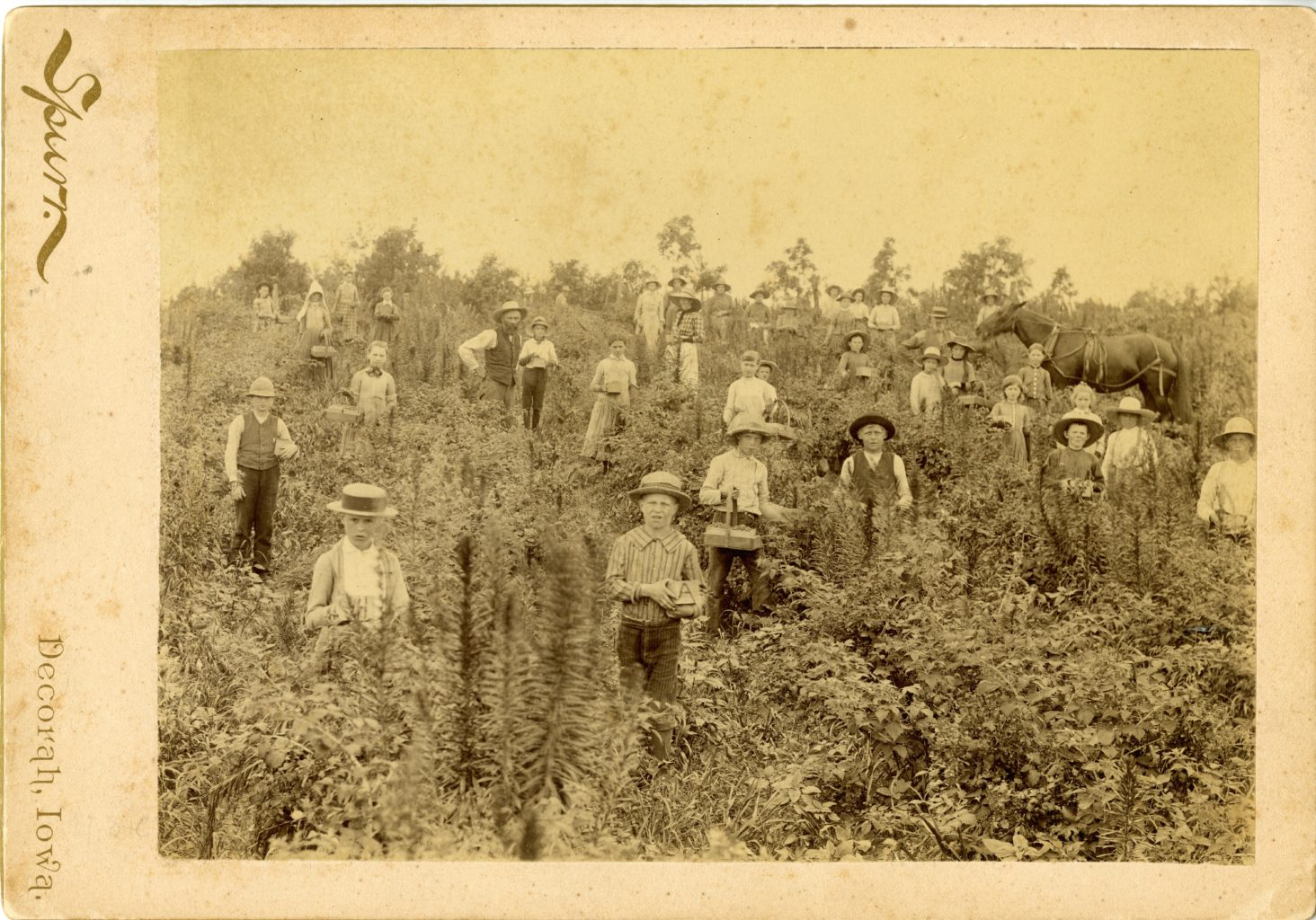 Large group in field picking berries.