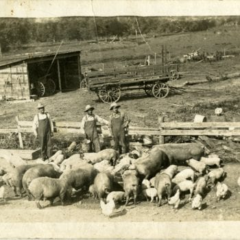 Three men with pigs and chickens on a farm.